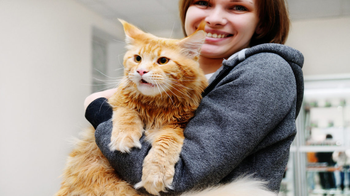 Adopter un Maine Coon